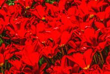 Red Tulip Fields Farm Skagit County, Washington