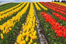 Red Yellow Tulip Hills Flowers Skagit Valley Washington State