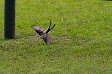 Scissor-tailed Flycatcher Diving After Insect Over Grass