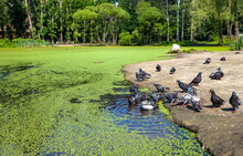 City Pigeons Swim In The Pond With Duckweed In Summer