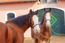 Two Clydesdale Horses Staying Near The Stable