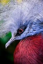 Illustration Of Victoria Crowned Pigeon