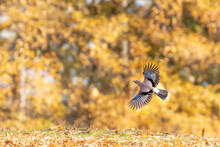 Jay In Flight In Beautiful Autumn Morning Light With Yellow Leaves In The Background