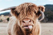 Selective Focus Photography Of Highland Cattle Calf