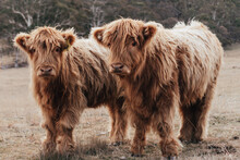 Two Brown Mountain Cows