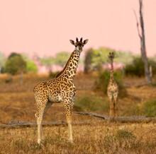 Two Giraffes Standing On Brown Grass Field