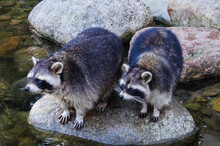 Two Raccoons On Stone In River