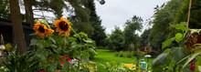 Sun Flowers In Amateur Garden In Yorkshire