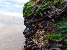 Selective Focus Shot Of A Rocky Surface At The Beach Covered By Molluscs And Green Leaves