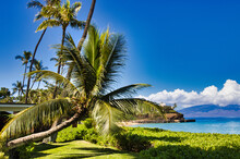 Tropical Leaning Palm Tree With Black Rock In The Distance On Maui.