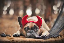 Halloween French Bulldog Dog Wearing Red Devil Horn Costume Headband