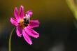 Trzmiel na fioletowym kwiecie Kosmosu