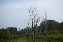 Dry Trees In A Swamp, A Swamp