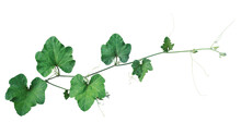 Pumpkin Green Leaves Vine Plant Stem And Tendrils Isolated On White Background, Clipping Path Included..
