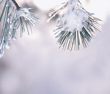 Pine Branches Covered In Ice With Snow On The Top Of The Image. Free Space For Your Ideas And Labels.