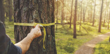 Deforestation And Forest Valuation - Man Measuring The Circumference Of A Pine Tree With A Ruler Tape. Copy Space
