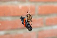 Garden Spider Catches Butterfly