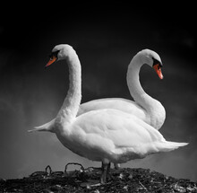 Pair Of Mute Swans Facing Away From Each Other