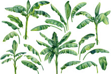 Set Os Banana Palms And Palm Leaves On Isolated White Background, Watercolor Illustration. Jungle Design Elements