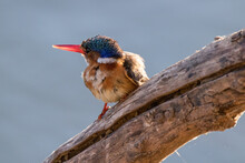 Kingfisher Looking For His Next Meal