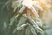 The Lush Branches Of The Trees With Green Needles Are Covered With Snow And Frost And Illuminated By Sunlight On A Frosty January Day. Christmas.