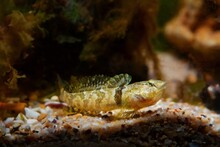 Tubenose Goby, Timid, Active Gobiidae, Dwarf Saltwater Species Spread Fins, Open Mouth With Barbels And Show Off, Brown Algae In Black Sea Marine Biotope, Shallow Dof