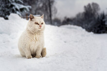 White Homeless Cat Sits On The Snowy Village Road On A Frosty Winter Day