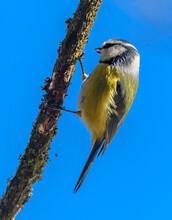 Eurasian Blue Tit (Cyanistes Caeruleus) Bird On Branch