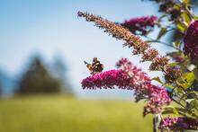 Schmetterling / Sommerflieder