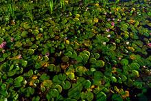 Beautiful Pink Waterlily Or Lotus Flower In Pond. Kaban Lake In Kazan, Russia
