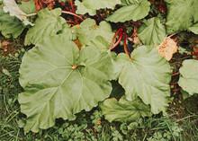 Autumn Rhubarb In The Garden