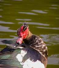Special Bird With Black And White Feathers And Red Head