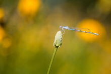 Dragonfly On Wildflower