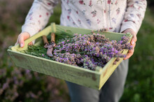 Woman Holding Just Picked Lavender During Sunrise