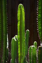 Closeup Of Cactus Plants Under Sunlight