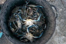 Close-up Of Blue Crabs Trapped In A Metal Container