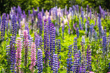 Beautiful Shot Of Purple Lupines In A Garden During The Sunlight
