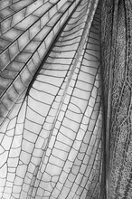Grasshopper Wing Monochrome, Macro