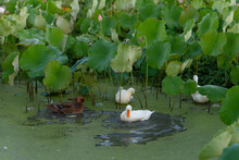 Ducks In The Lotus Pond
