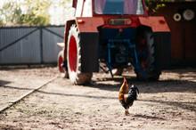 Rooster Walking Towards Tractor.