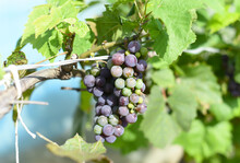 Bunch Of Unripe Grapes Hanging On A Branch