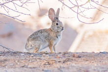 Close Up Shot Of A Cute Cottontail Rabbit