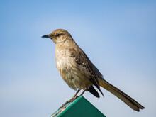 Close Up Shot Of Cute Northern Mockingbird