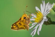 A Orange Skipper Butterfly Feeding On Daisy Flower With Green Background.