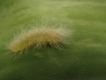 White Caterpillar On Banana Leaf, In The Costa Rica Forest