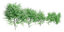Climbing Plants Creepers Isolated On White Background 3d Illustration