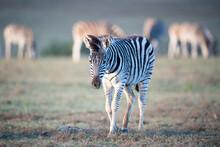 Sub-adult Burchell's Zebra