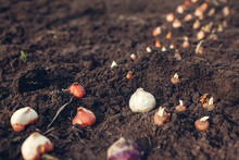 Fall Bulbs Planting. Tulip, Narcissus, Crocus, Hyacinth Bulbs Ready To Put In Soil. Spring Gardening