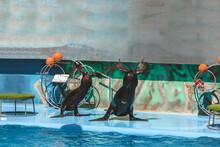 Cute Sea Lions Showing Tricks Near Pool At Marine Mammal Park