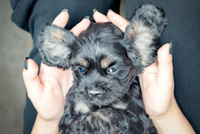 A Black Cocker Spaniel Puppy Lies In The Palms Of A Girl's Hands On Her Back, Big Ears Spread Out To The Sides.